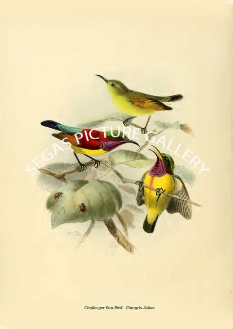 Fine art print of the Challenger Sun-Bird - Cinnyris Juliae by the artist Johannes Gerardus Keulemans (1876-1880)
